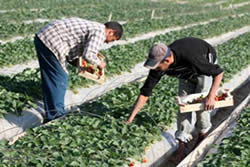 Picking strawberries in the Gaza Strip