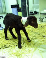 Iran's first cloned sheep, Royana, dies