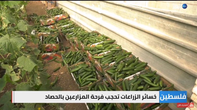 Surplus agricultural produce in northern Samaria (al-Ghad YouTube channel, January 11, 2021).